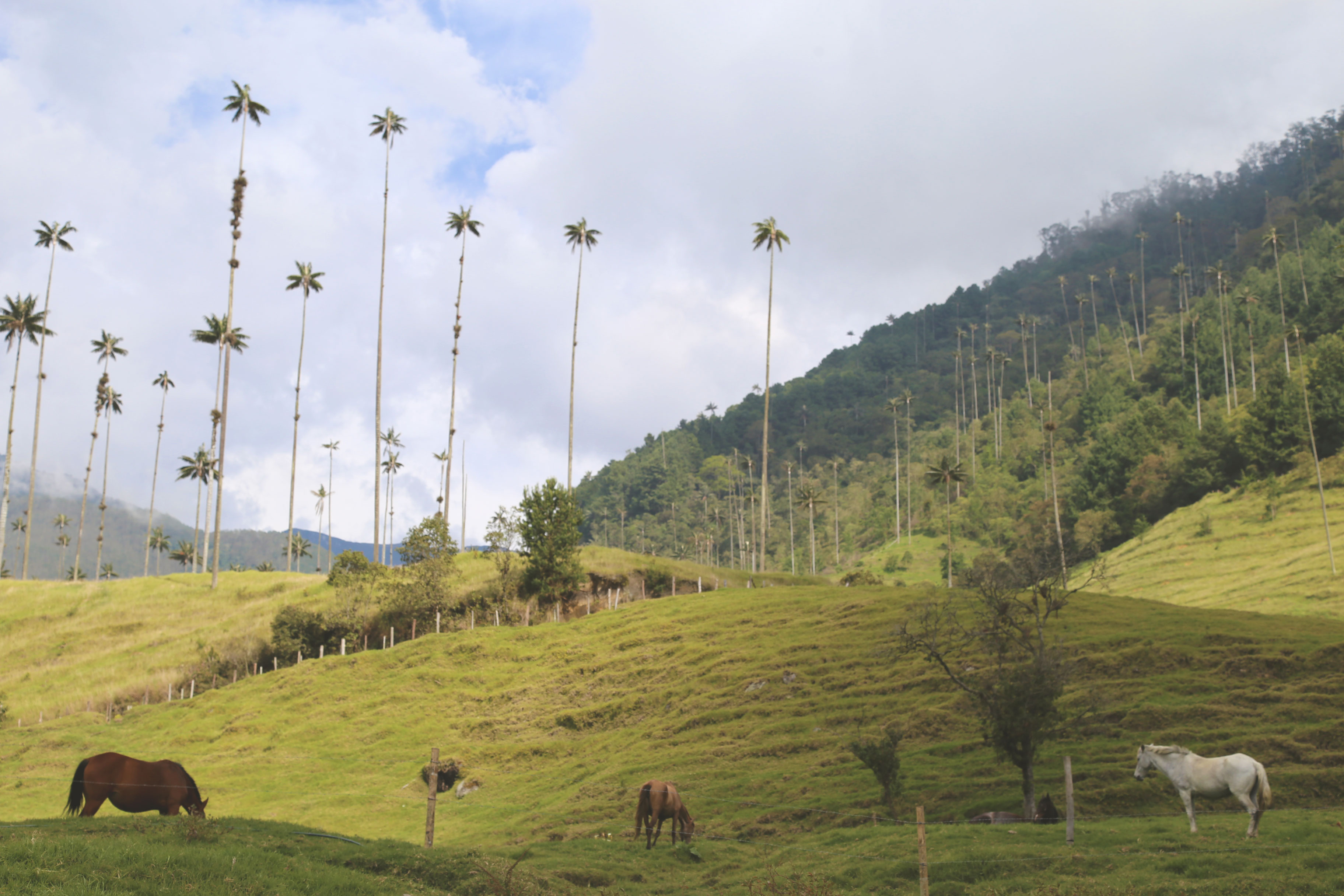 Cocora Valley New Year Horses